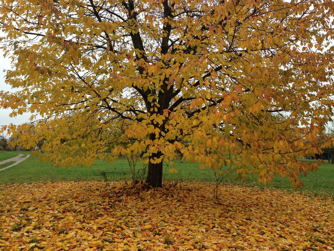 Kirschbaum in Gelb