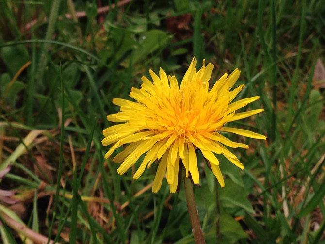Löwenzahn Heilpflanze Blüte Frühling