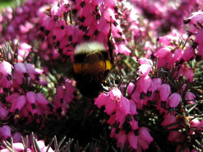 Hummel auf rosa Blüten