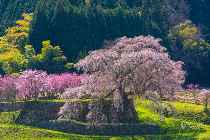 Fotografando sakura pelas províncias de Mie e Nara. Matabe sakura - Nara