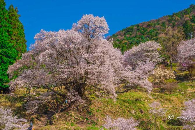Fotografando sakura pelas províncias de Mie e Nara. Templo Butsuryu - Nara