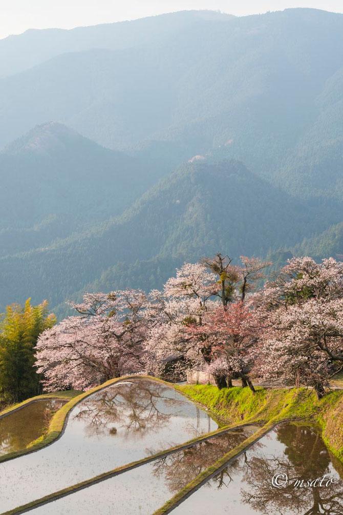 Fotografando sakura pelas províncias de Mie e Nara. Mitake sakura Mie