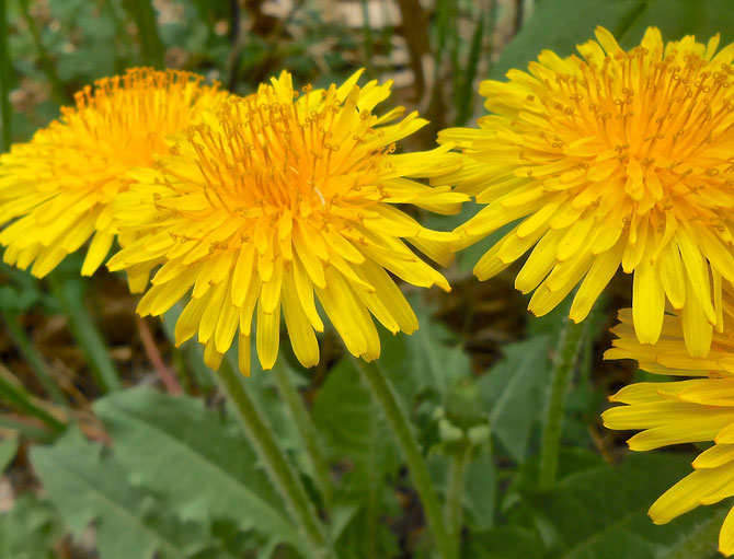 Why haven't I ever appreciated dandelions?