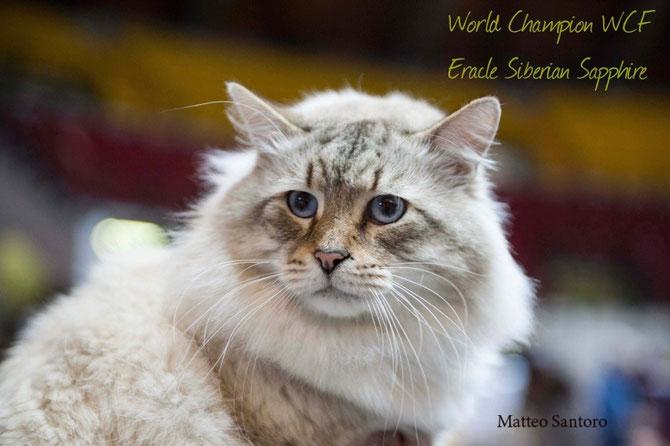 W.Ch.Eracle Siberian Sapphire