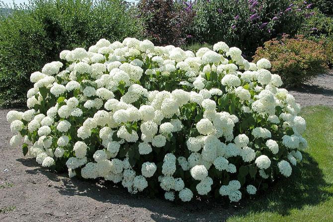 "Hydrangea, Specie arborescens: Annabelle"""