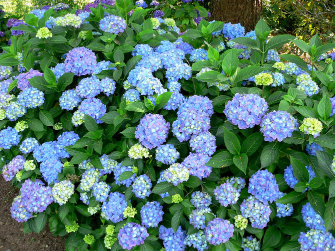 Hydrangea macrophilla Blauer Prinz