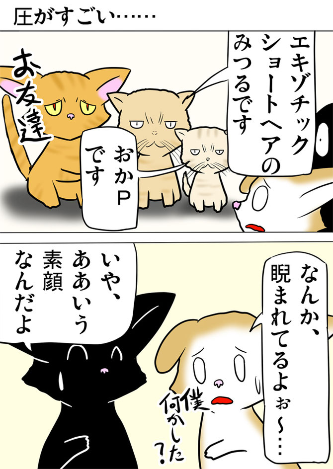 エキゾチックショートヘアたちの目つきに怯えるスコティッシュフォールド猫