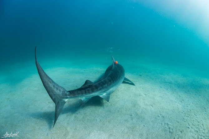 Specialists tags attached to tiger sharks has revealed the apex predator to be surprisingly lazy. Image: Alex Kydd