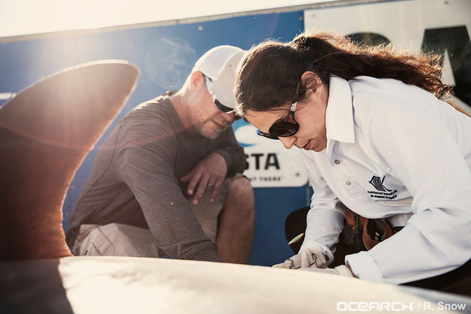 Dr Luciana Ferreira takes small tissue samples from a tiger shark. Image courtesy of Ocearch.