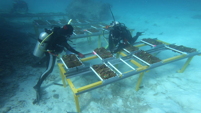 AIMS divers assessing the feasibility of a reef restoration technique called Assisted Gene Flow on the central Great Barrier Reef. Image from www.aims.gov.au