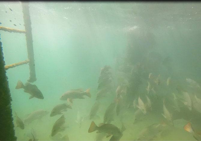 A school of mangrove jack sheltering under the jetty at Thevenard Island, Western Australia.