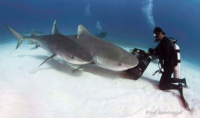 Tiger Sharks, Marine Science basics