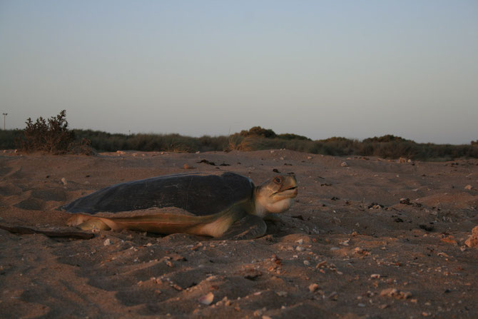 An adult female flatback turtle ashore on Thevenard Island during the nesting season, Western Australia.