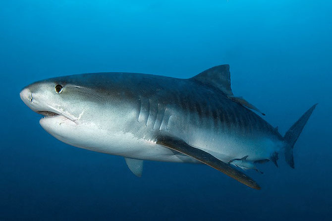 Researchers are discovering more about what tiger sharks eat. Image: Peter Verhoog / Dutch Shark Society