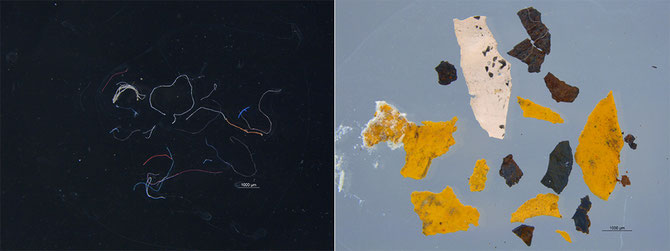 Microfibres (left) and paint chips were found in the gut of two green turtles. From AIMS