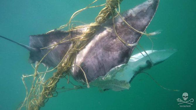 Japanese stingray caught in shark net off the Gold Coast, from Seashephard.