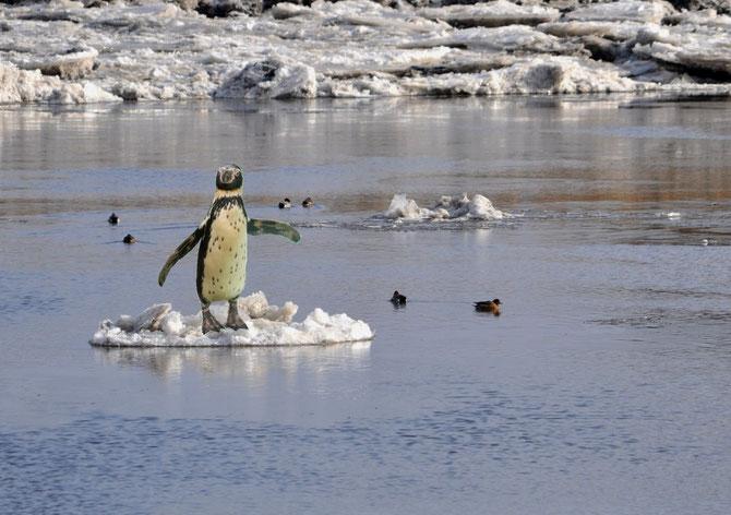 Pinguin Eis