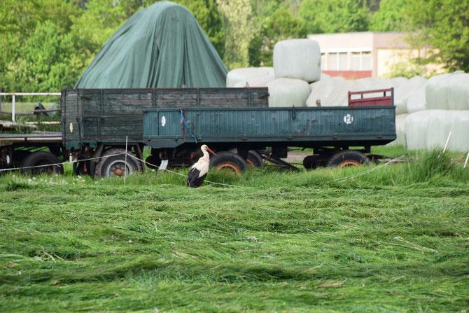 Ein Storch auf einem Feld in Heiligensee