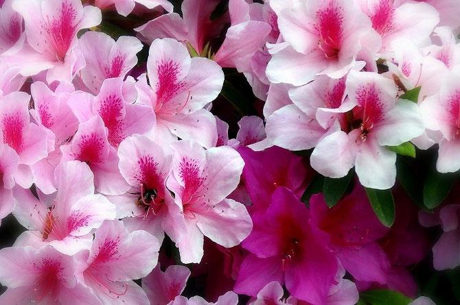 ピンク・ピンク・ピンク。満開のつつじの花をアップで撮影。虫が蜜を吸っています。宝塚花の道にて撮影。