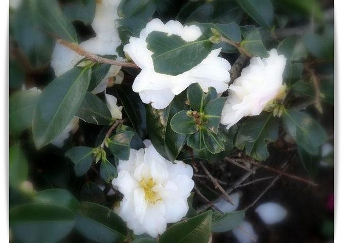 ご近所に咲いた白いさざんかの花。