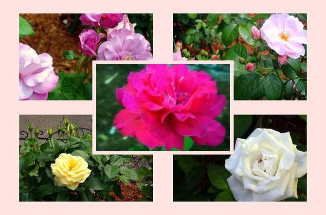 宝塚「花の道」に新しく加わったベルサイユのばらシリーズ。登場人物をイメージした花たちです。