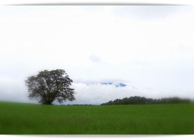 小岩井農場の一本桜。雲の向こうにちらりと見えているのは岩手山です。