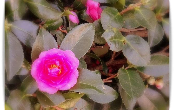 近所の公園に咲いたピンク色のさざんかの花が鮮やかです。