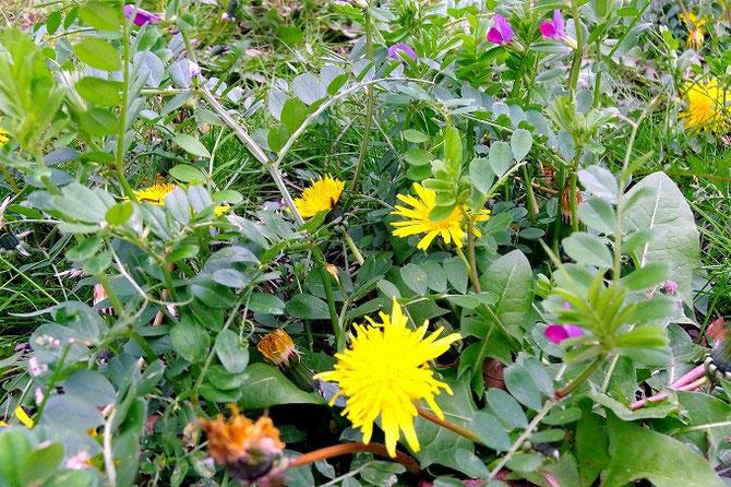 黄色いタンポポの花。紫色のカラスノエンドウ。都会の真ん中でも春の草花が沢山咲いています。
