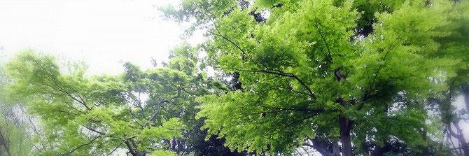 雨上がりの街路樹。滴るような緑が瑞々しい。東京は緑が多い都会です。