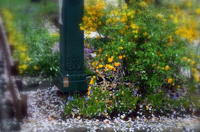 地面いっぱいに散った桜の花びらと、満開の山吹の花。季節が少しずつ移っていきます。