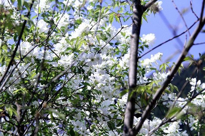 山里の春。比良山荘周辺は花盛りです。こちらの花はなんでしょうか?白い花が満開です。