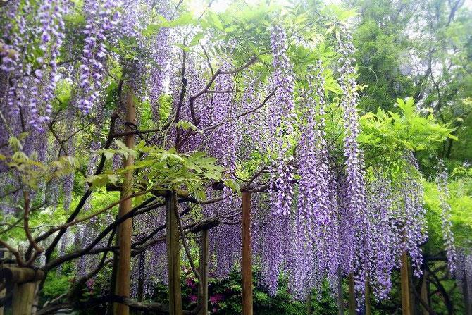 奈良、春日大社神苑の藤の花。まるで藤色の滝が流れているように見えます。