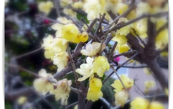 香りよい、蝋梅の黄色い花。奥には桃のピンクのつぼみが見えています。