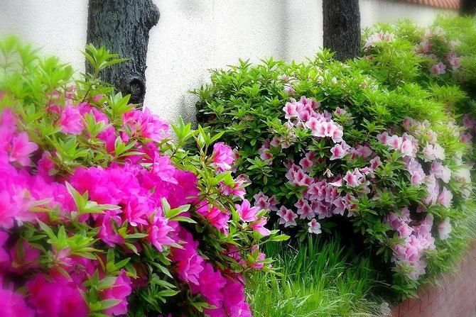 宝塚市内のつつじの生垣。ピンクと緑の対比が美しい。