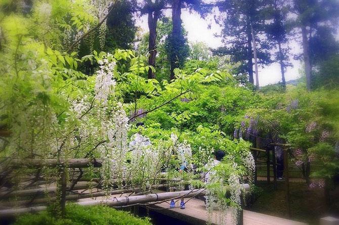奈良、春日大社神苑の藤の花。藤色だけでなく、白やピンクの花も見えます。