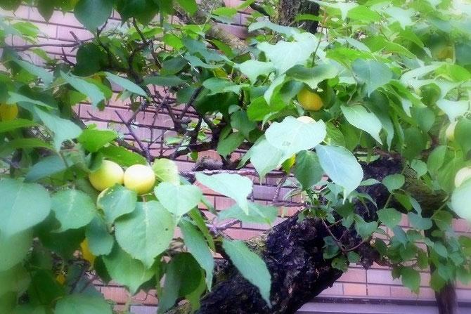 宝塚温泉「ホテル若水」さんの玄関に実ったたわわな梅の実。