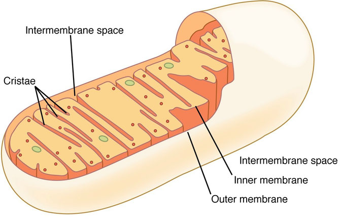 Diagram of a mitochondrion