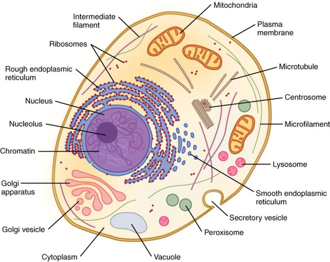 Animal cell parts and functions withcarbon diagram of an animal cell ccuart Image collections