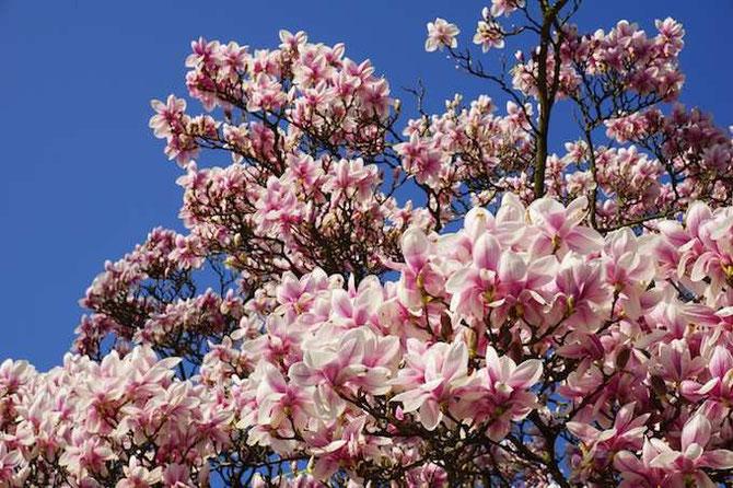 Blütenexplosion - Magnolie (by develloppa)