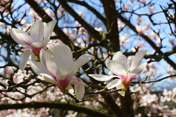 Magnolienblüten - by develloppa