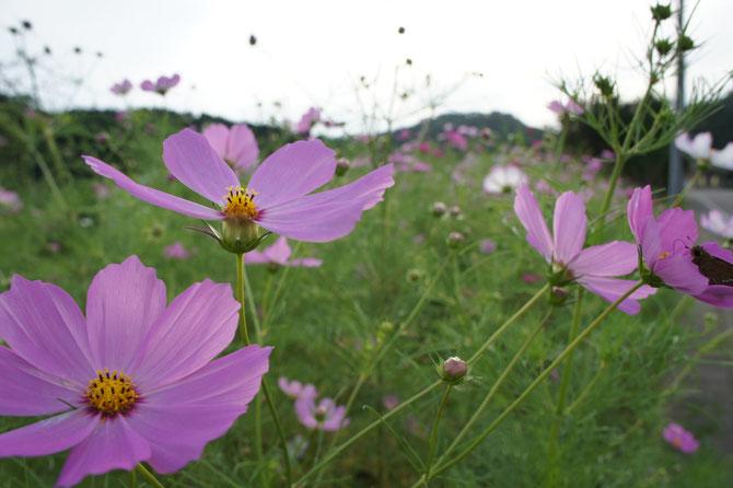今年も出会えたコスモスに、秋の訪れを実感。背景の山は「春日山城跡」