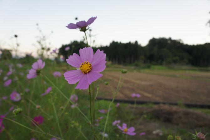 淡いピンクと稲刈りを終えた田んぼの匂い。新潟に暮らすみんなが、この時を待っていました。