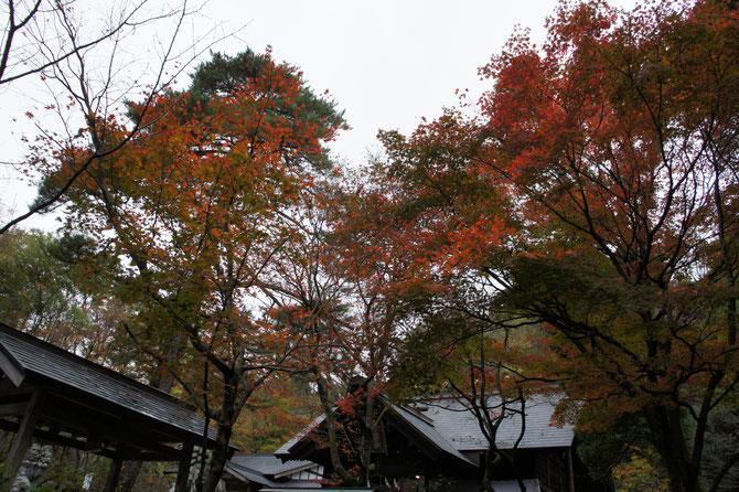 こちらは、軍神「上杉謙信公」を祀る春日山神社前の紅葉。強風に耐え、赤く燃え続ける姿を見ながら、戦国時代に思いをはせました