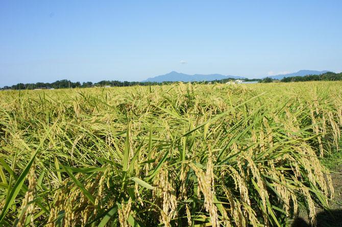 黄金色に輝く稲穂と澄み切った青空。遠くに見えるは「米山」と「尾神岳」