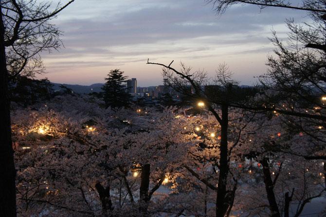 高田城下に桜色のじゅうたんが敷き詰められていました