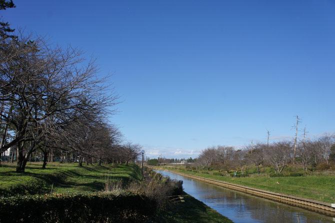 今日の新堀川公園。川の両側を囲む桜の木も、葉っぱをすべて落として「冬モード」。でも、季節外れの陽気にやや、拍子抜け?