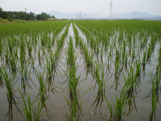 日本一の米どころ新潟。順調に稲が生育することを願います