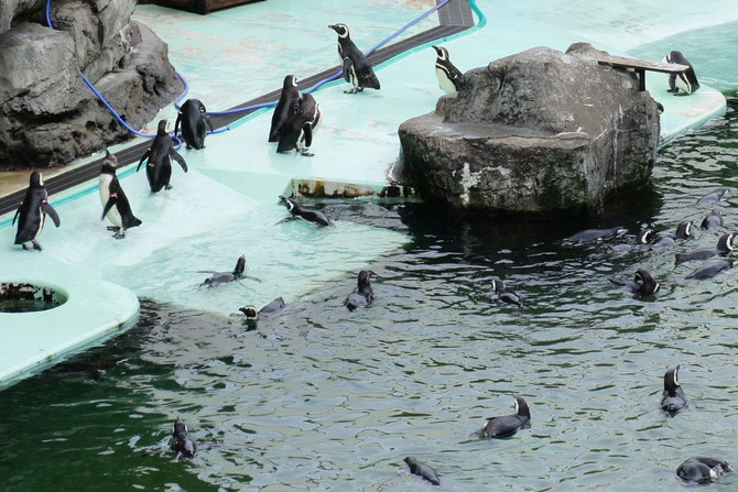 当水族館のマゼランペンギン飼育数は日本一。今日も元気に過ごしていました!