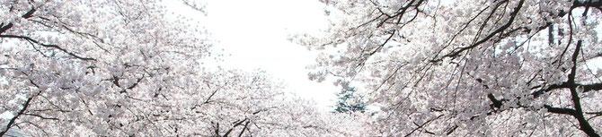 お馴染み、高田公園の桜並木。