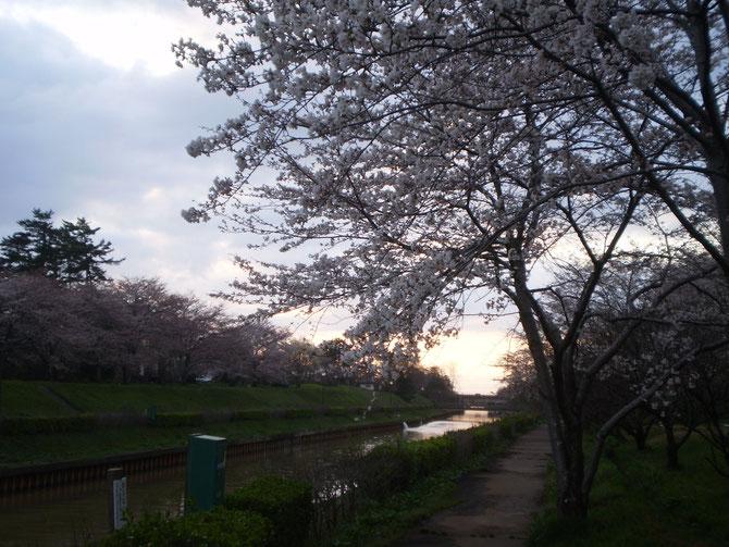 夕方の新堀川。寒さの中、花開くサクラたち。満開の頃が楽しみです